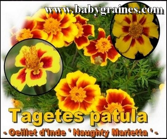 Oeillet d`Inde , Tagetes Patula