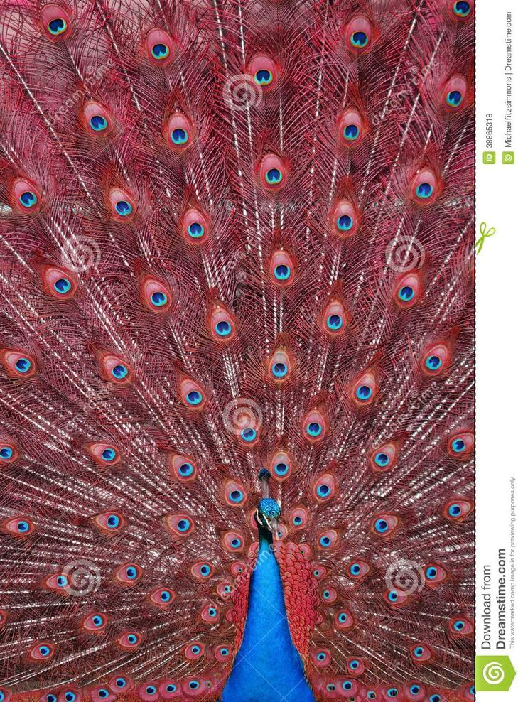 Red peacock - photo#22