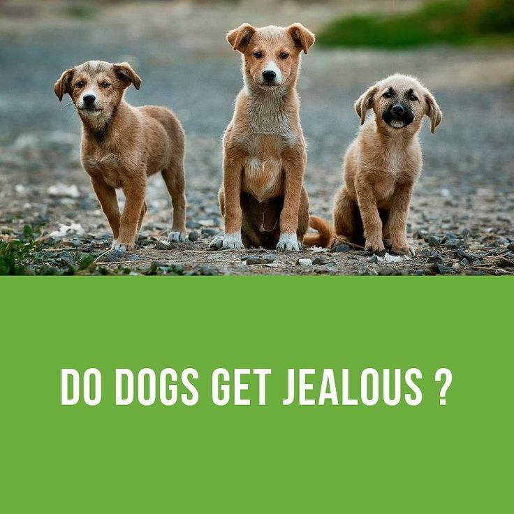 Do you think dogs get jealous? Have any experiences to