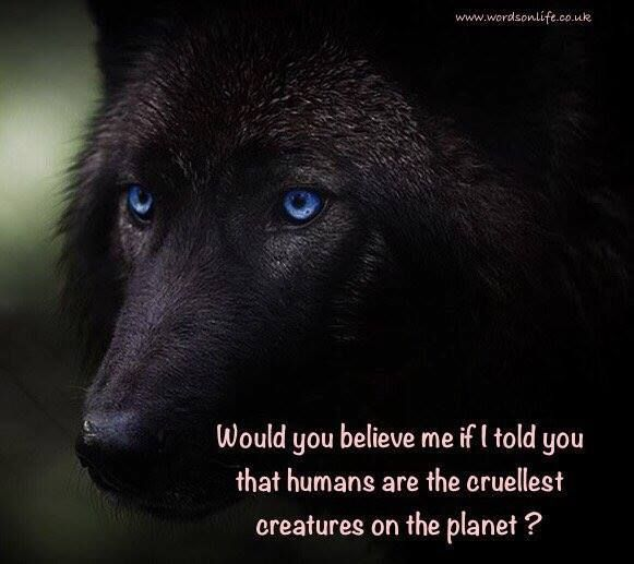 17+ Best Ideas About Black Wolves On Pinterest