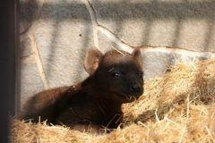 岡山市の池田動物園でブチハイエナの赤ちゃんが生まれたよ 母親ブッチと父親蓮との間に生まれ体長約センチ体重約キロらしいよ 性別はまだ分からないんだって ハイエナっていえば怖いイメージがあるけど赤ちゃんはかわいいね() tags[岡山県]