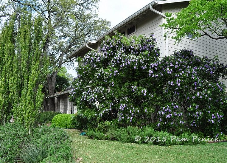 Drive-By Gardens: Grape Kool-Aid trees in northwest Austin | Digging