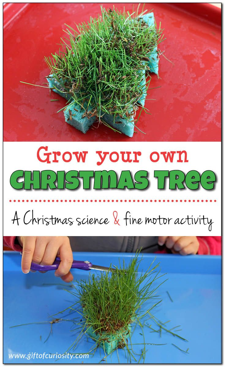 Grow your own Christmas tree sponge with this super fun Christmas science and fine motor activity your kids can do over and over! || Gift of Curiosity