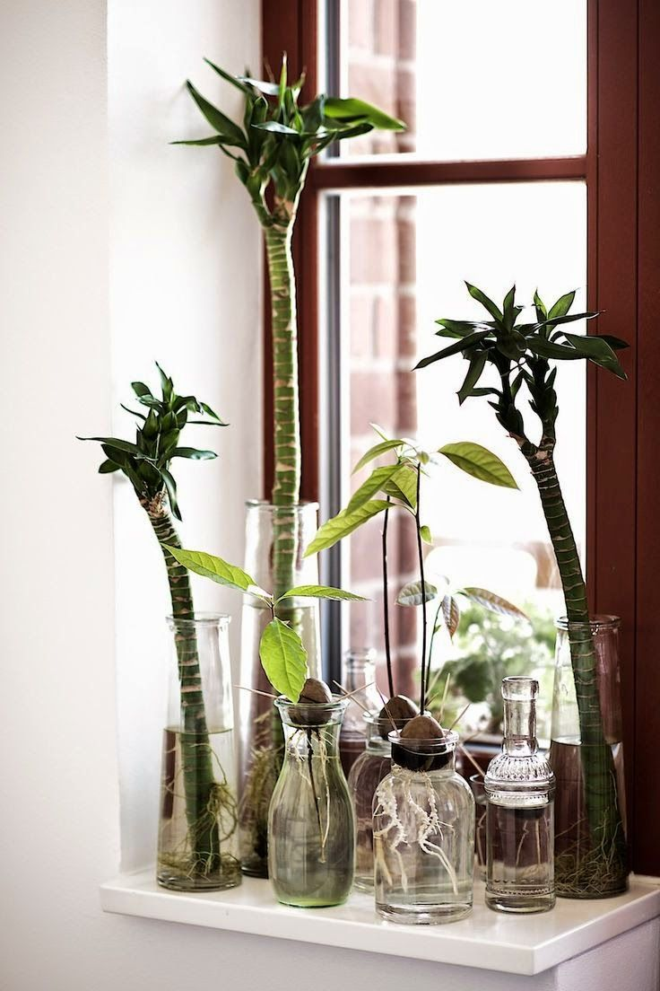 How to Grow an Avocado From a Seed. Could be cool in the kitchen, maybe in a mason jar