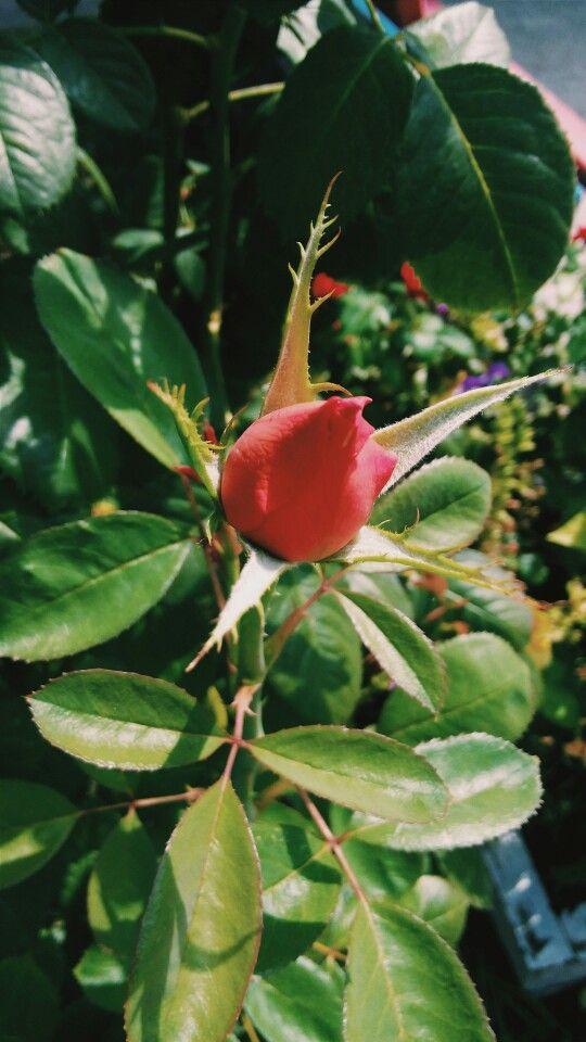 #rose #red #green #beautiful