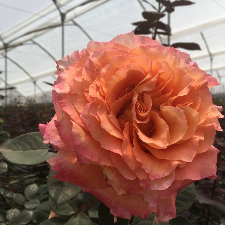 Valentines Weekend, Peonies Season And Protea Flower