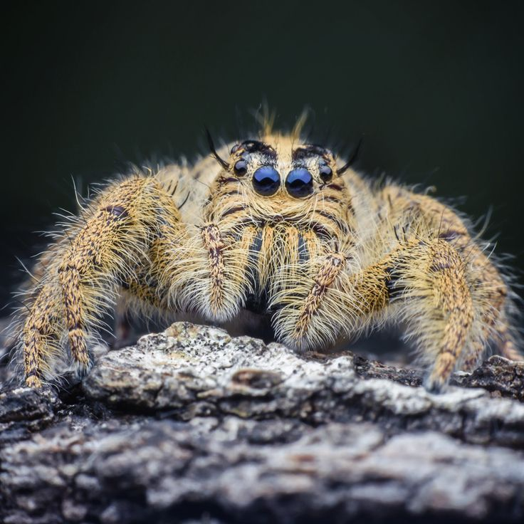 Keeping things exclusive, most of Madagascar's wildlife like the Jumping Spider is found nowhere else in the world. #OneOfAKind #Africa #Madagascar