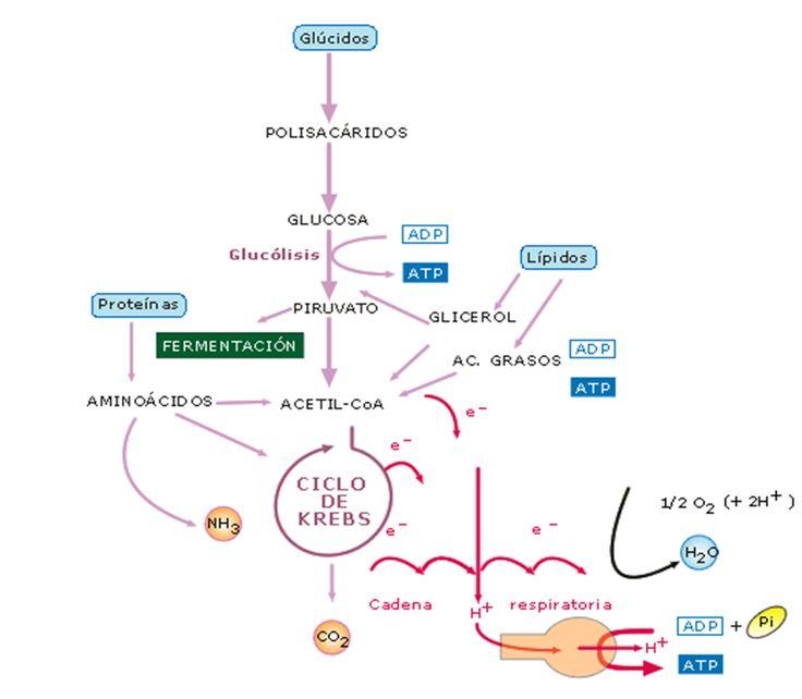 Glucolisis. Ciclo de Krebs