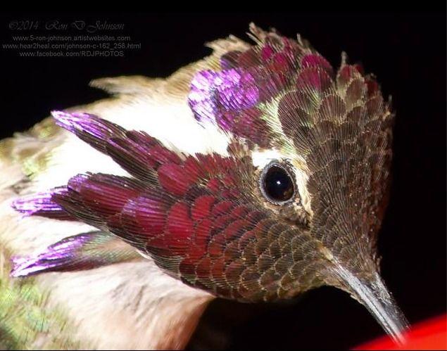 Hummingbirds: understanding behavior of hummingbirds 1