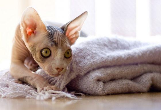 SPHYNX CATS 101