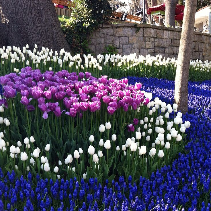 Emirgan Istanbul /tulip