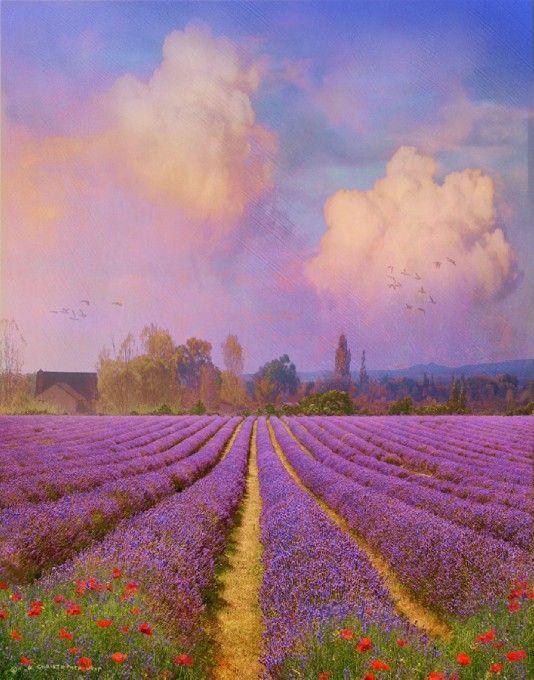 lavender field 1: Photo by Photographer R Christopher Vest - photo.net