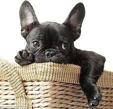 french bulldog photos - Google Search