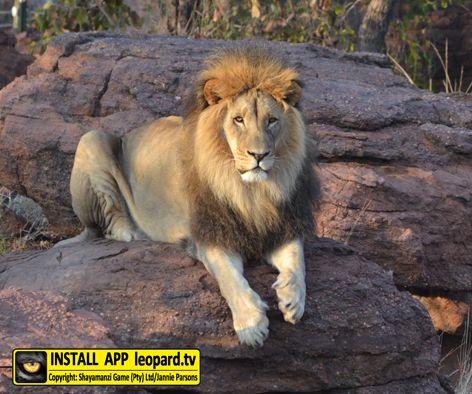 Weekends are for lion around! #leopardtv #TGIF #shayamanzi #nature