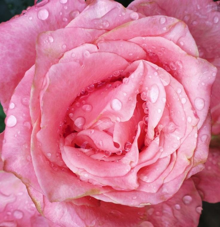 Trandafiri fotografiați cu Nokia 808