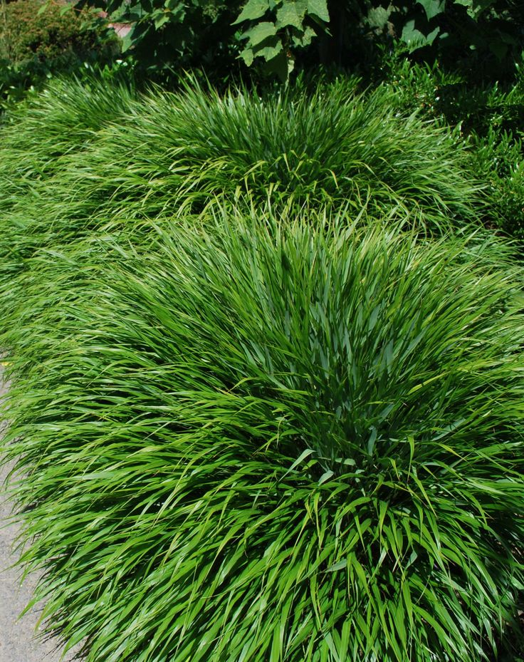 143 best grassen images on pinterest landscaping garden for Low growing perennial ornamental grass
