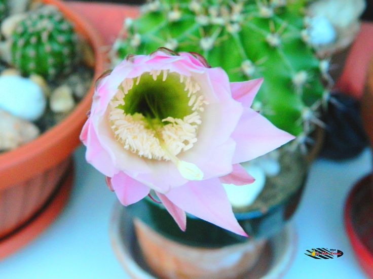 Ferocactus flower, my balcony, Nikon Coolpix L310, 12.6mm, 1/15s, ISO400, f/4, -0.3ev, HDR photography, 201706122020