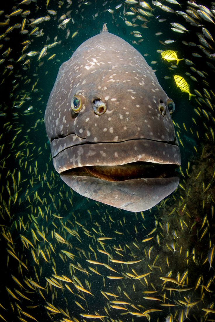 "BFG 'Big Friendly Grouper ""  available to be printed and framed"
