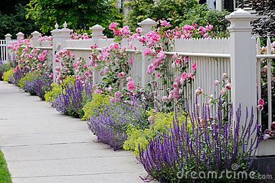 Climbing roses for picket fence....Climbing Roses, White Fence by Jorge Salcedo, via Dreamstime