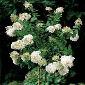 Tips on pruning those lovely hydrangeas that I planted in Grammy's memorial garden.