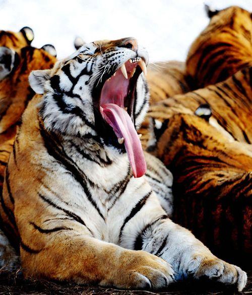 A Siberian tiger yawns in the Siberian Tiger Park in Harbin, China. Picture: Xinhua /Landov / Barcroft Media
