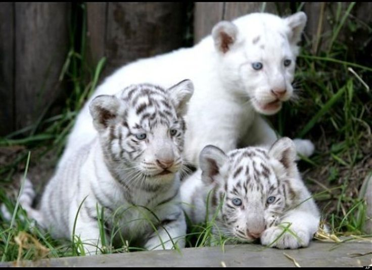 Bengal white tiger cubs! i iwll take these too! We need to help save these Big Cats! Endangered Tiger Cubs