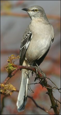 Birds Northern Mockingbird