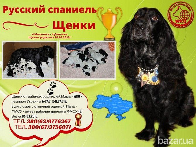 Щенки Русского спаниеля - Собаки Киев на Bazar.ua
