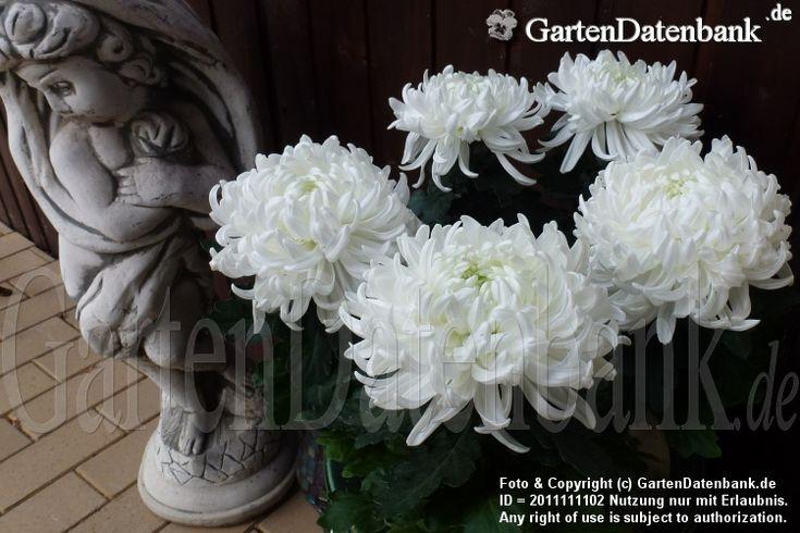 Chrysantheme im Topf (Deko-Chrysantheme) Pflege, winterhart