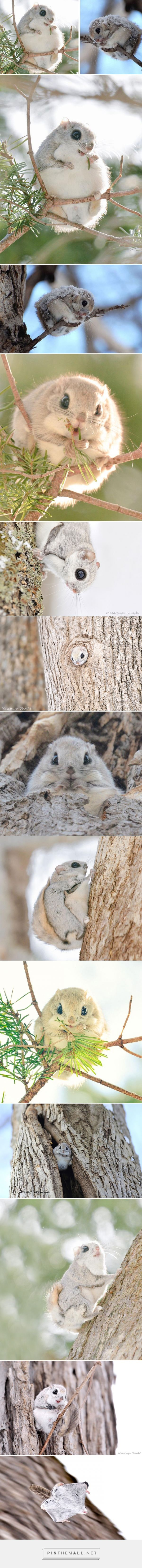Japanese And Siberian Flying Squirrels Are Probably The Cutest Animals On Earth | Bored Panda - I can't believe The Internet hasn't made these cuties uber famous already. I get cuteness is in the eye of the beholder, but c'mon....these guys are the very definition of adorable!