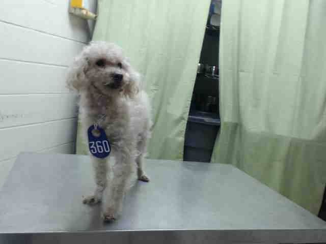 KILLED --- ~ Animal ID #A429309 ‒ I am a Male, White Poodle - mix. The shelter does not know how old I am. I have been at the shelter since April 02, 2015. Harris County Public Health and Environmental Services Telephone ‒ (281) 999-3191 612 Canino Road Houston, TX Fax: (281) 847-1911 https://www.facebook.com/OPCA.Shelter.Network.Alliance/photos/pb.481296865284684.-2207520000.1428747317./802120666535634/?type=3&theater