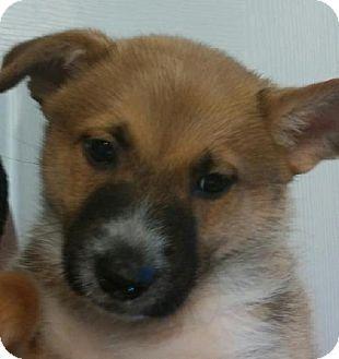 Littleton, CO - Cattle Dog/Border Collie Mix. Meet Dobi, a puppy for adoption. http://www.adoptapet.com/pet/10948292-littleton-colorado-cattle-dog-mix