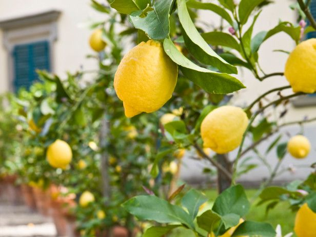 Can you freeze lemons? Yes! @HGTVGardens shows you how. (http://www.hgtvgardens.com/freezing/can-you-freeze-lemons?soc=Pinterest)Gardens Ideas, Fruit Garden, Pots Lemon, Italian Courtyard, Garden Fruit, Outdoor, Growing Fruit Trees, Trees In Pots, Lemon Trees