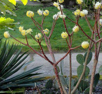Edgeworthia chrysantha 'Nanjing Gold' 9 flower