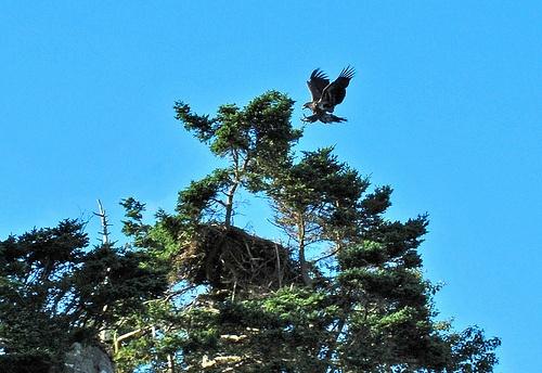 Safe Landing - Fledgling Bald Eagle