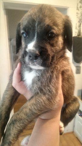 Brindle Boxador Puppies $150 ea
