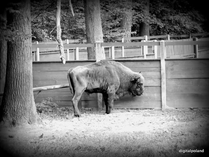 Bison - Smardzewice - Poland