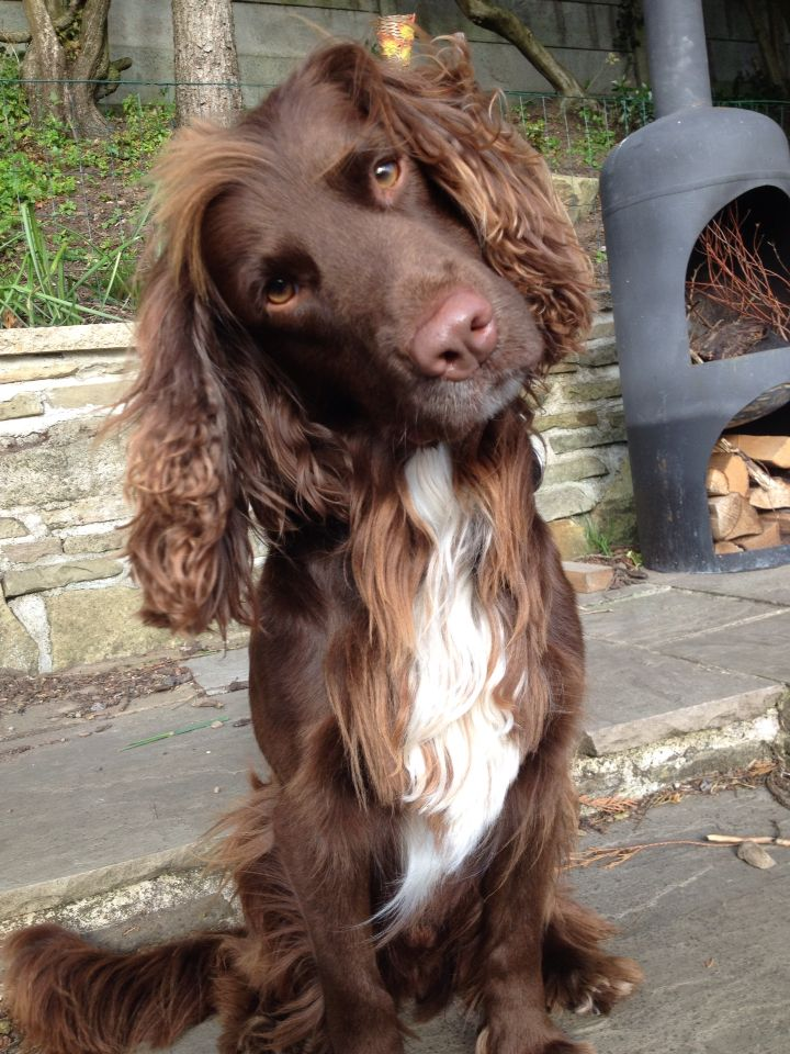 Chocolate Sprocker Spaniel