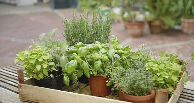 Nejvoňavější a nejchutnější jsou bylinky, které si vypěstujete sami doma.