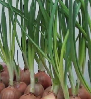 как вырастить зеленый лук зимой?