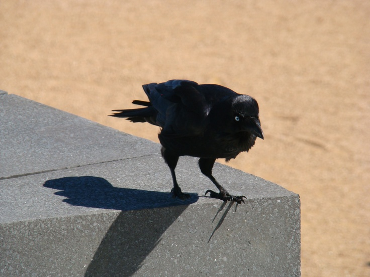 Canberra crow?