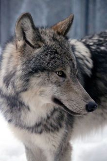 I think wolves are so fierce and beautiful!