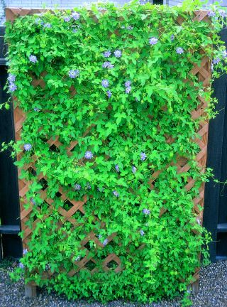Passion flower vines. For the hot tub fence.