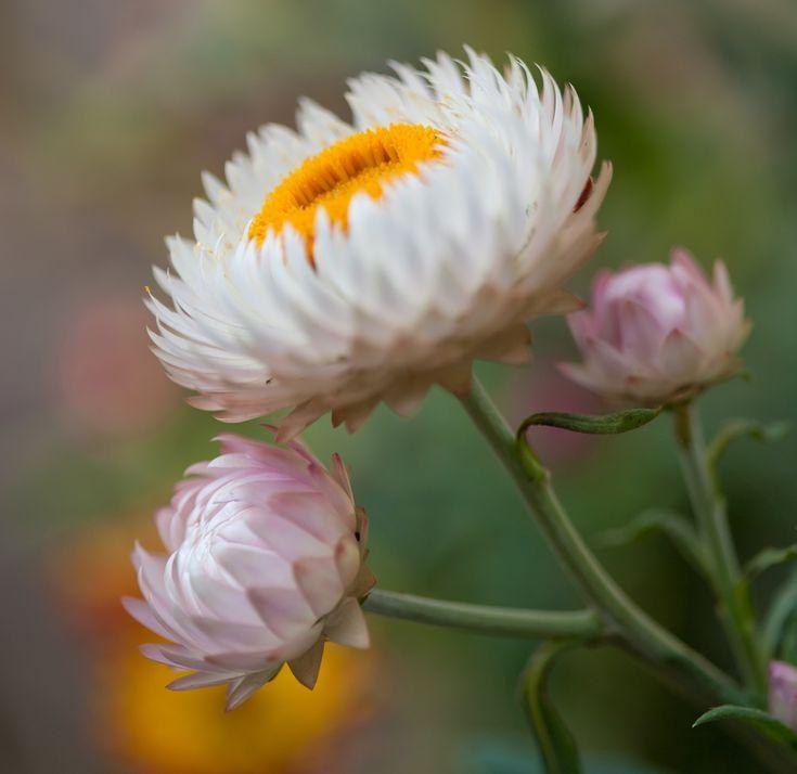 Kup Teraz Na Allegro Pl Za 2 35 Zl Kocanka Ogrodowa Biala Cudo Suchych Bukietow 8882192433 Allegro Pl Radosc Zak In 2020 Everlasting Flowers Helichrysum Flowers