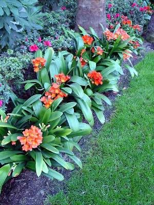 Clivia miniata - a great border plant