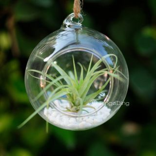 Glass hanging container with one air plant