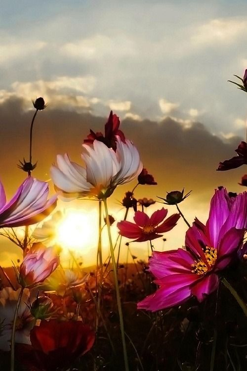 """Pondération: """"Cosmos avec le coucher du soleil 2 par CharlieZo"""""""