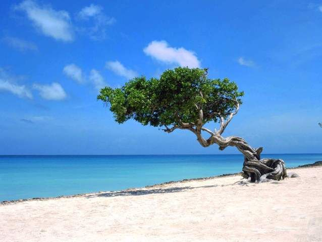 Wind blown dividivi tree on bonaire and lets not forget to mention the stunning white beach and - Dive e divi ...