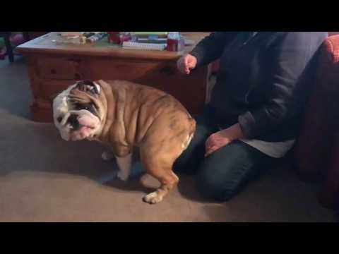 Owners Want To Clean Bulldog S Ears He Wants Something Else