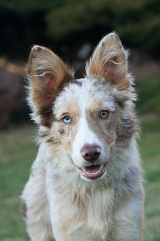 Nike (NNL S'Jayashri) - red merle border collie bitch www.markenborder.com